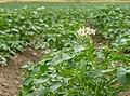Aberásturi - Planta de patata 02.jpg