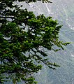 Abies pindrow foliage Manali-Leh.jpg