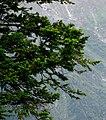 Abies pindrow foliage Manali-Leh.jpg