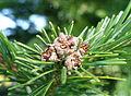 Abies sachalinensis var. mayriana - Bergianska trädgården - Stockholm, Sweden - DSC00514.JPG