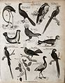 Above, a flamingo, two pheasants, a seal, a rock manakin, an Wellcome V0020674EL.jpg