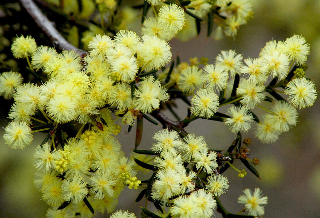 Acacia - definition of acacia by The Free Dictionary