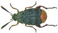 Acanthoscelides obtectus (Say, 1831) (5990120739).png