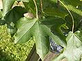 Acer campestris folium.jpg
