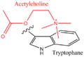Acetylcholine-tryptophane cation-pi interaction.png