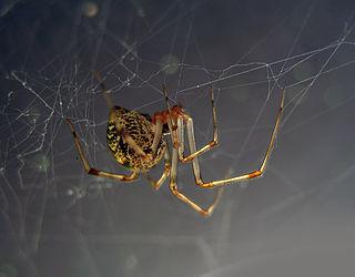 <i>Achaearanea</i> Genus of spiders