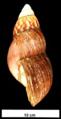 Achatina fulica shell 3.png