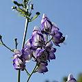 Aconitum sp.-IMG 5593.jpg