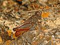 Acrididae - Calliptamus italicus.JPG