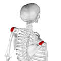 Acromion of scapula07.png