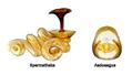 Acrotrichis intermedia (Gillmeister, 1845) Genital (3625922858).png