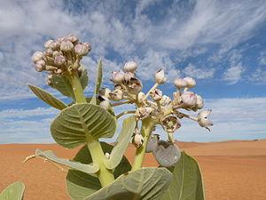 Adrar Region - Calotropis procera, Adrar desert