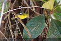 Aegithina tiphia -Bodhinagala Forest Reserve, Sri Lanka-8.jpg