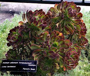 Aeonium - Image: Aeonium arboreum 'Atropurpu