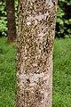 Aesculus californica in Hackfalls Arboretum (1).jpg