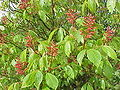 Aesculus pavia0.jpg