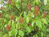 Aesculus pavia0