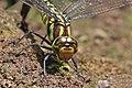 Aeshna petalura female laying eggs Phulchowki head.jpg
