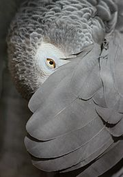 African Grey Parrot, peeking out from under its wing - edit.jpg