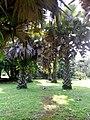 African Pan Palm, Limbe.jpg
