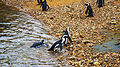 African penguins (08).jpg