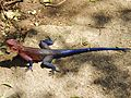 Agama agama - male rock agama lizard.jpg