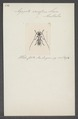 Agapete - Print - Iconographia Zoologica - Special Collections University of Amsterdam - UBAINV0274 033 13 0004.tif