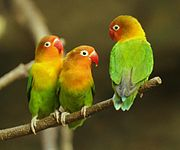 Three green parrots with yellow neck and crown, orange face, and red beak