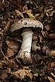 Agaricus subperonatus - Gruga-0052.jpg