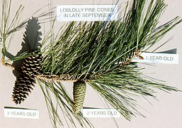 Ages of pine cones