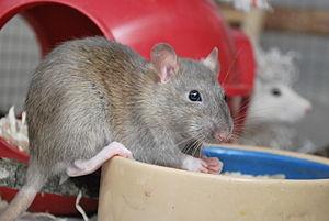 Rat Neuter