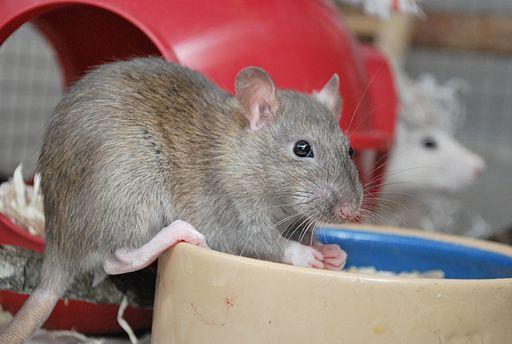 Agouti pet rat