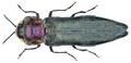 Agrilus pratensis (Ratzeburg, 1837).png