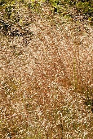 Agrostis canina - Image: Agrostis.canina 2. .lindsey