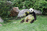 Ailuropoda melanoleuca (Panda géant) - 445.jpg