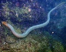 Serpent Aquatique Wikipedia