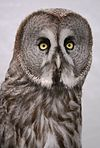 Alaskan Great Grey Owl.jpg