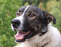 Alaskan Husky (1351384372).jpg