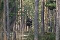Alces alces 05(js), Biebrza National Park (Poland).jpg