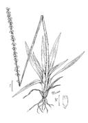 Aletris aurea drawing.png