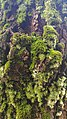 Algae grown on tree bark 03.jpg
