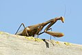 Alien - mantis religiosa en su mirador 02 - European Praying mantis (260010893).jpg
