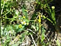 Alisma lanceolatum sl9.jpg