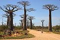 Allée des Baobabs.jpg