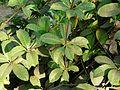 Allamanda cathartica (3051669337).jpg