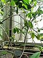 Allamanda cathartica - Copenhagen Botanical Garden - DSC07359.JPG