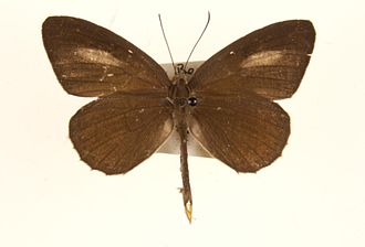 Allotinus horsfieldi - Male specimen from Malaya