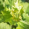 Alliaria petiolata in Aveyron (2).jpg