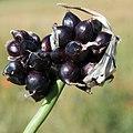 Allium scorodoprasum inflorescence (03).jpg