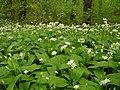 Allium ursinum MdE 2.jpg